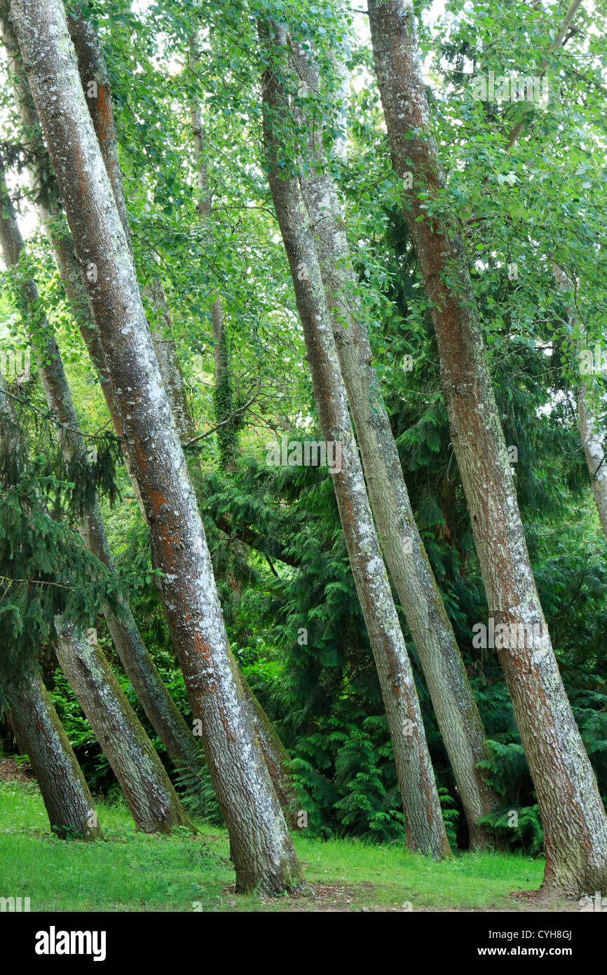 Grey Poplar (Populus × canescens) tilted (France) // Parc Floral de la Source, peupliers grisards (Populus - Stock Image