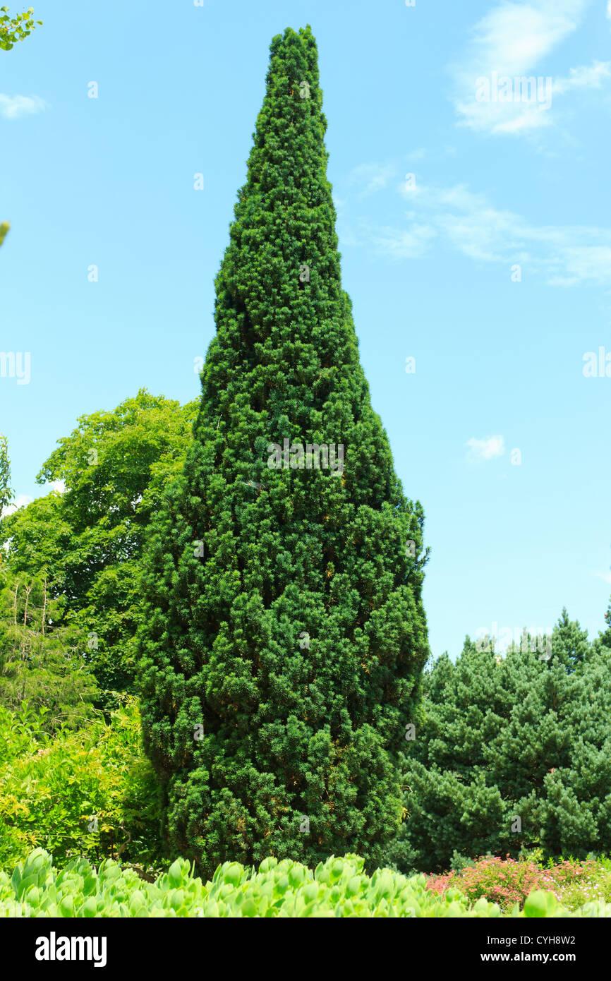 Irish Yew (Taxus baccata 'Fastigiata'), France, Parc Floral de la Source // If fastigié Taxus baccata - Stock Image