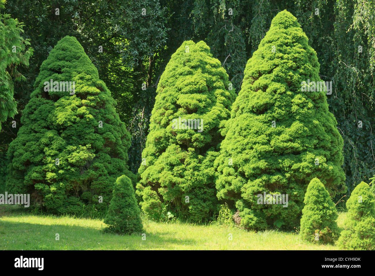 Alberta white spruce 'Conica', Picea glauca var. albertiana 'Conica' (Arbofolia, France) - Stock Image
