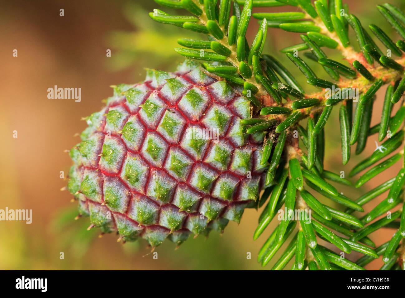Cone of Caucasian Spruce or Oriental Spruce (Picea orientalis) // Cône femelle d'épicéa d'Orient, - Stock Image