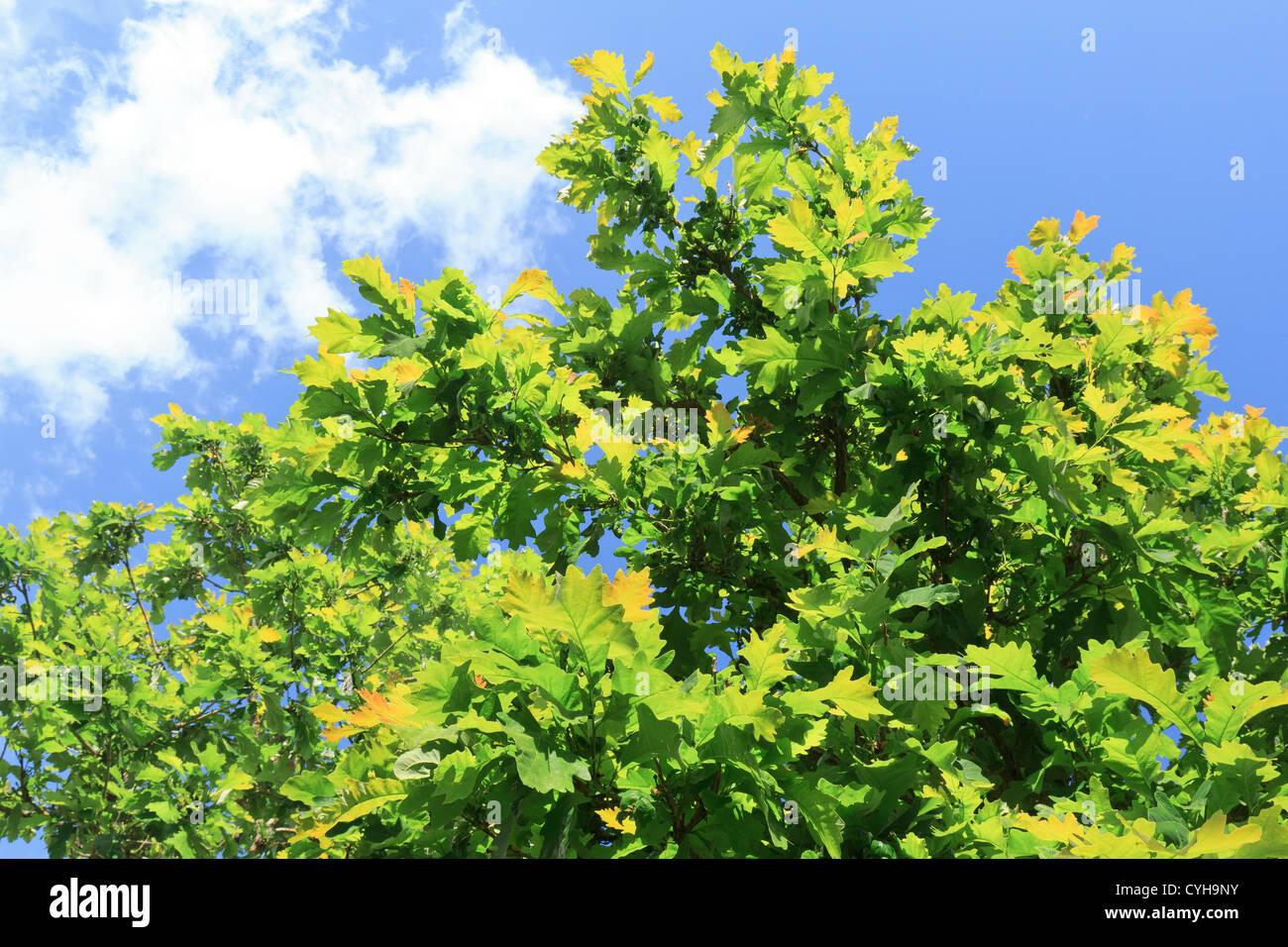 Leaves of Bur Oak, Quercus macrocarpa // Chêne à gros glands, Quercus macrocarpa - Stock Image