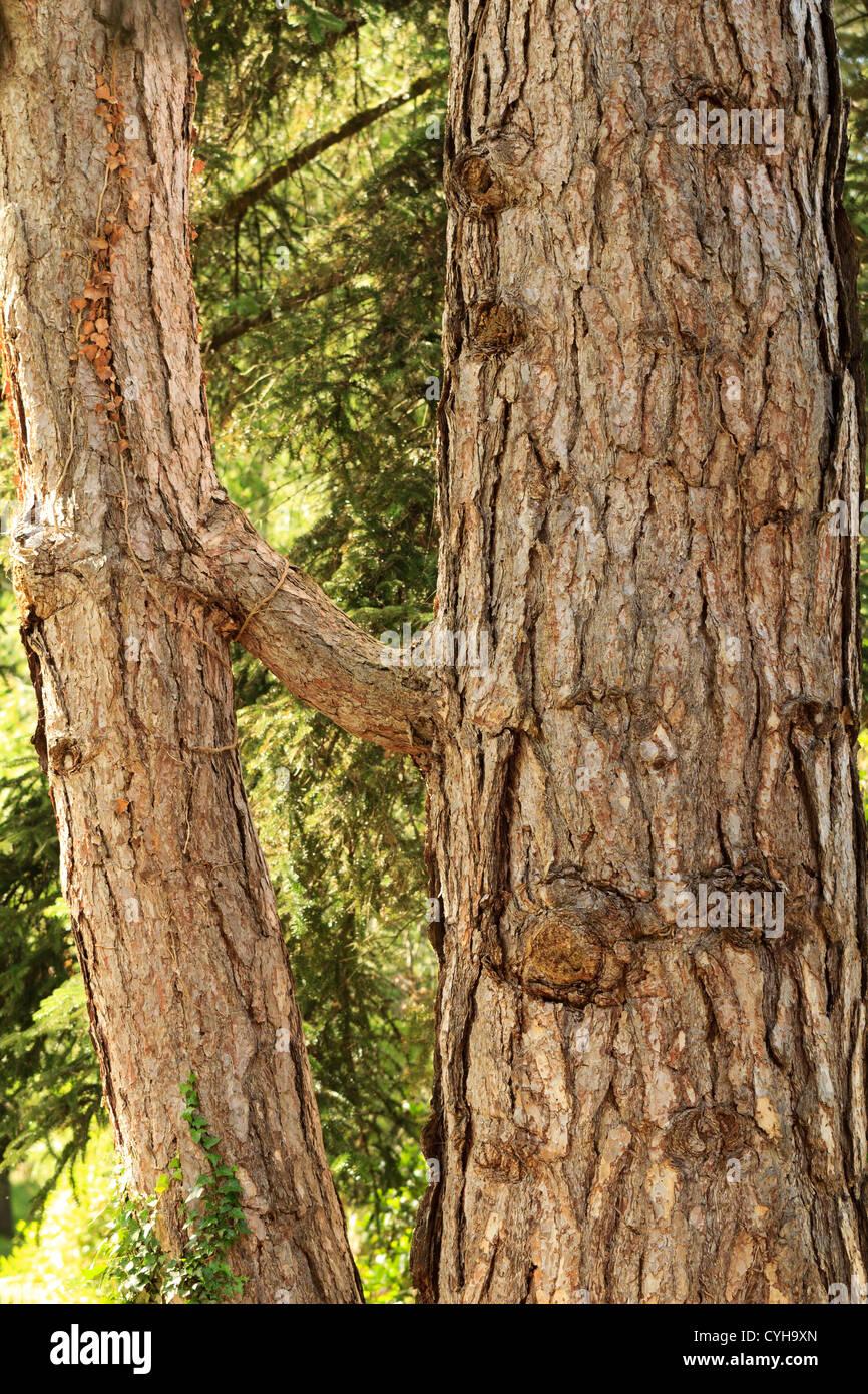 Natural graft on European black pine, Pinus nigra ssp. nigra, France, Arbofolia. - Stock Image