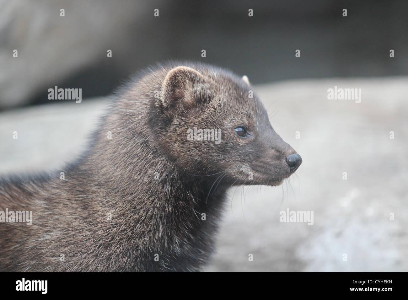 Profile Fisher mammal - Stock Image