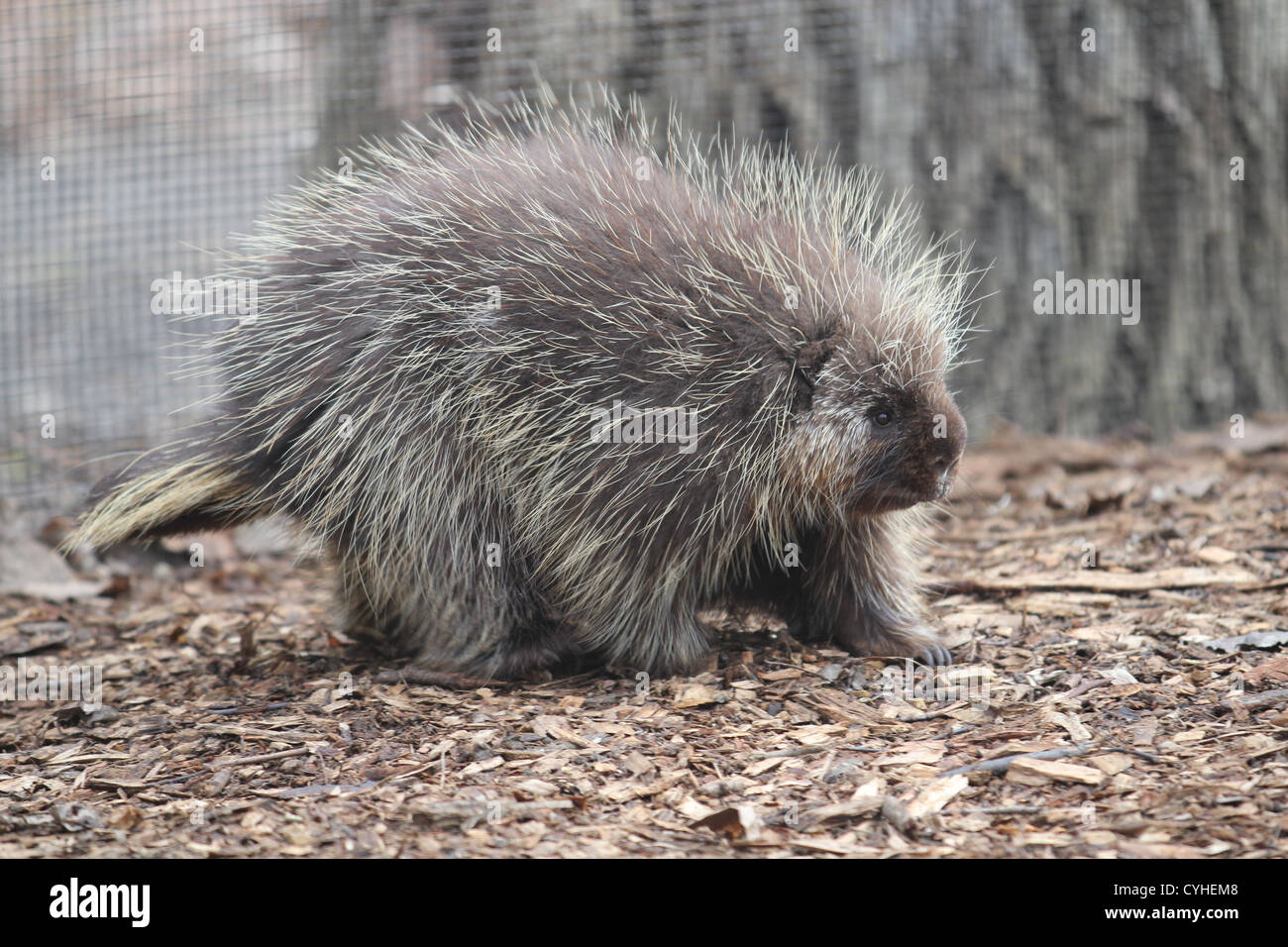 Porcupine walking on the ground, profile - Stock Image
