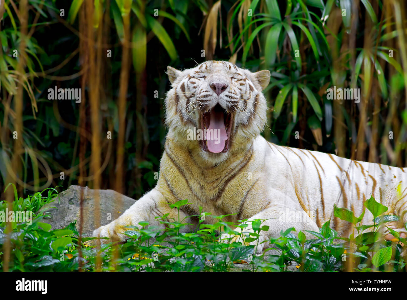 white tiger roaring in a tropical forest stock photo: 51403405 - alamy