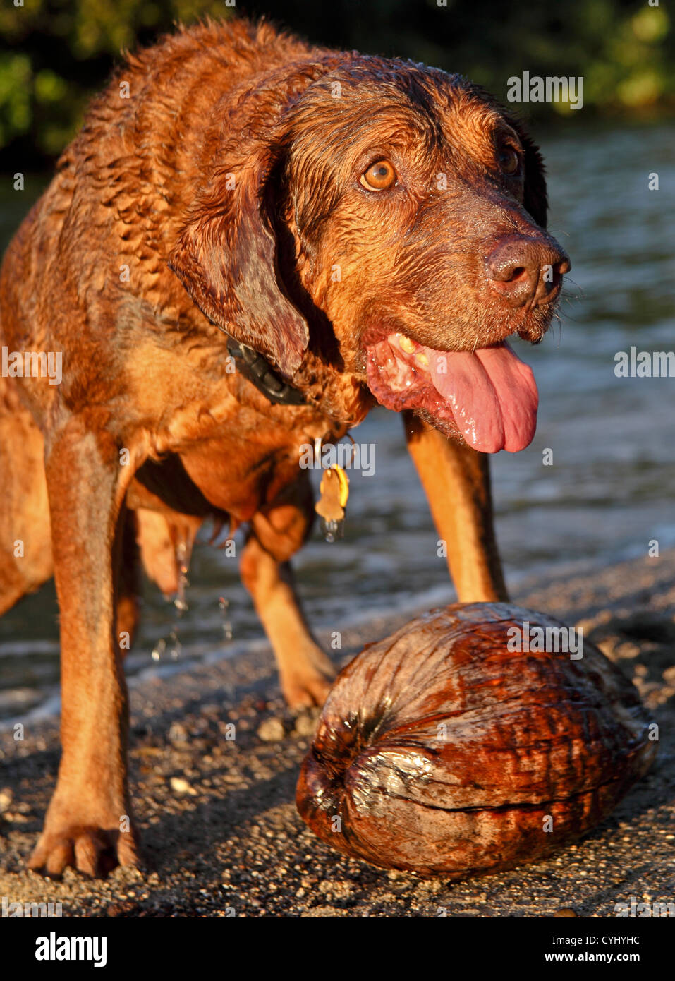 Dog on Kauai who fetches coconuts - Stock Image