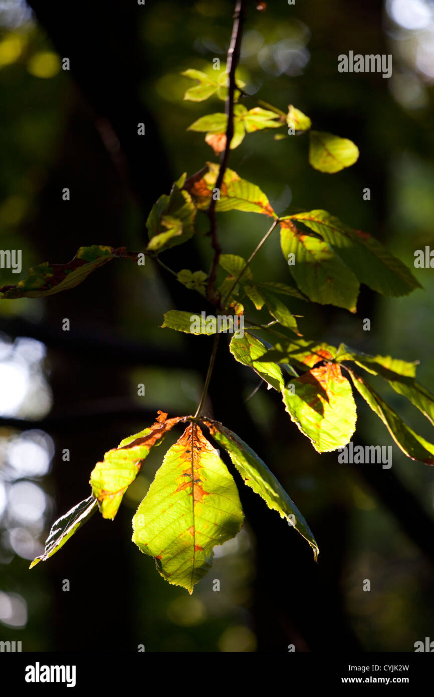 leaves, autumn, contour, nature, tree, green, color, plant, shadow,light, exterior - Stock Image