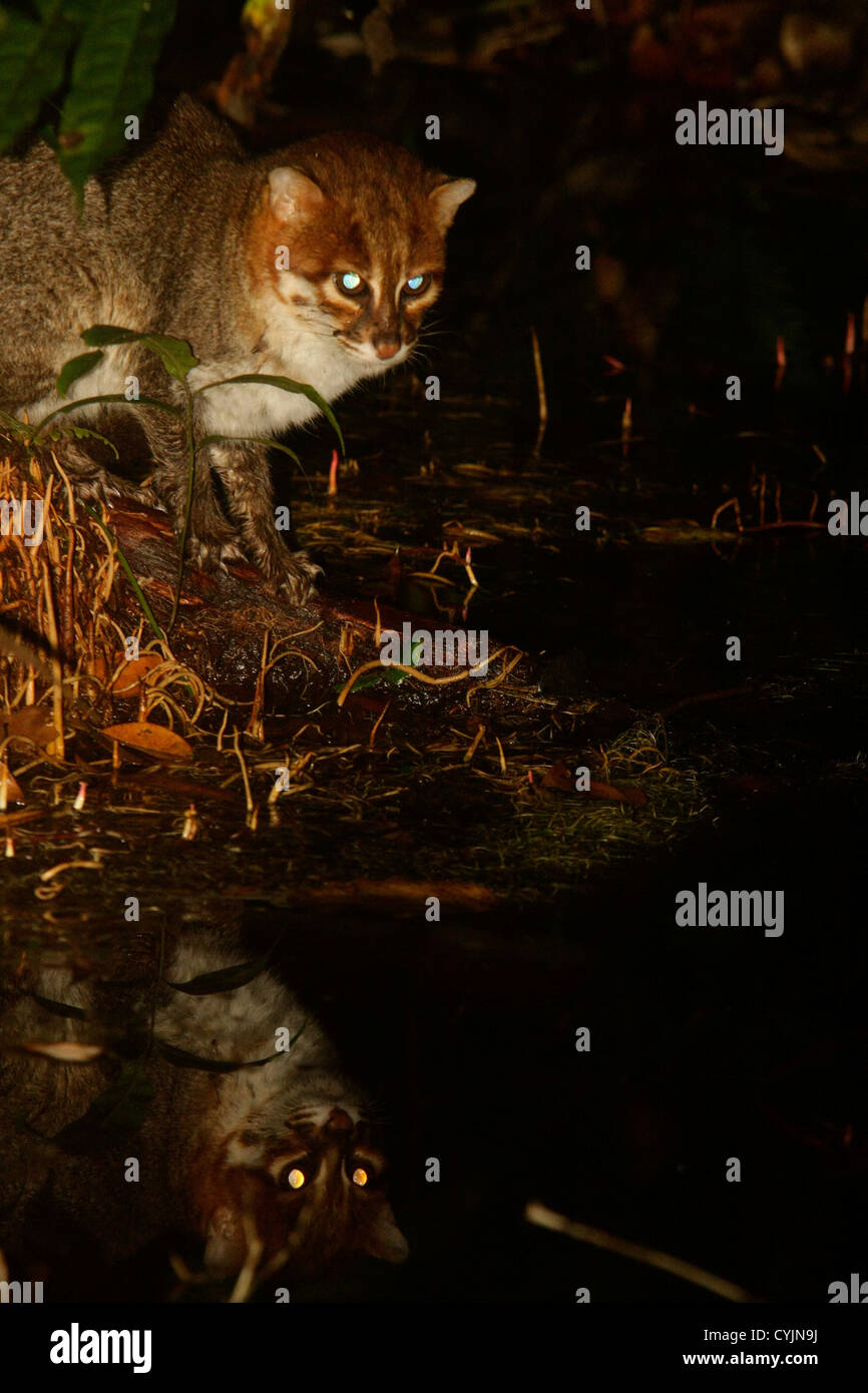 Flat headed cat - Prionailurus planiceps - reflected in peat wather - Stock Image