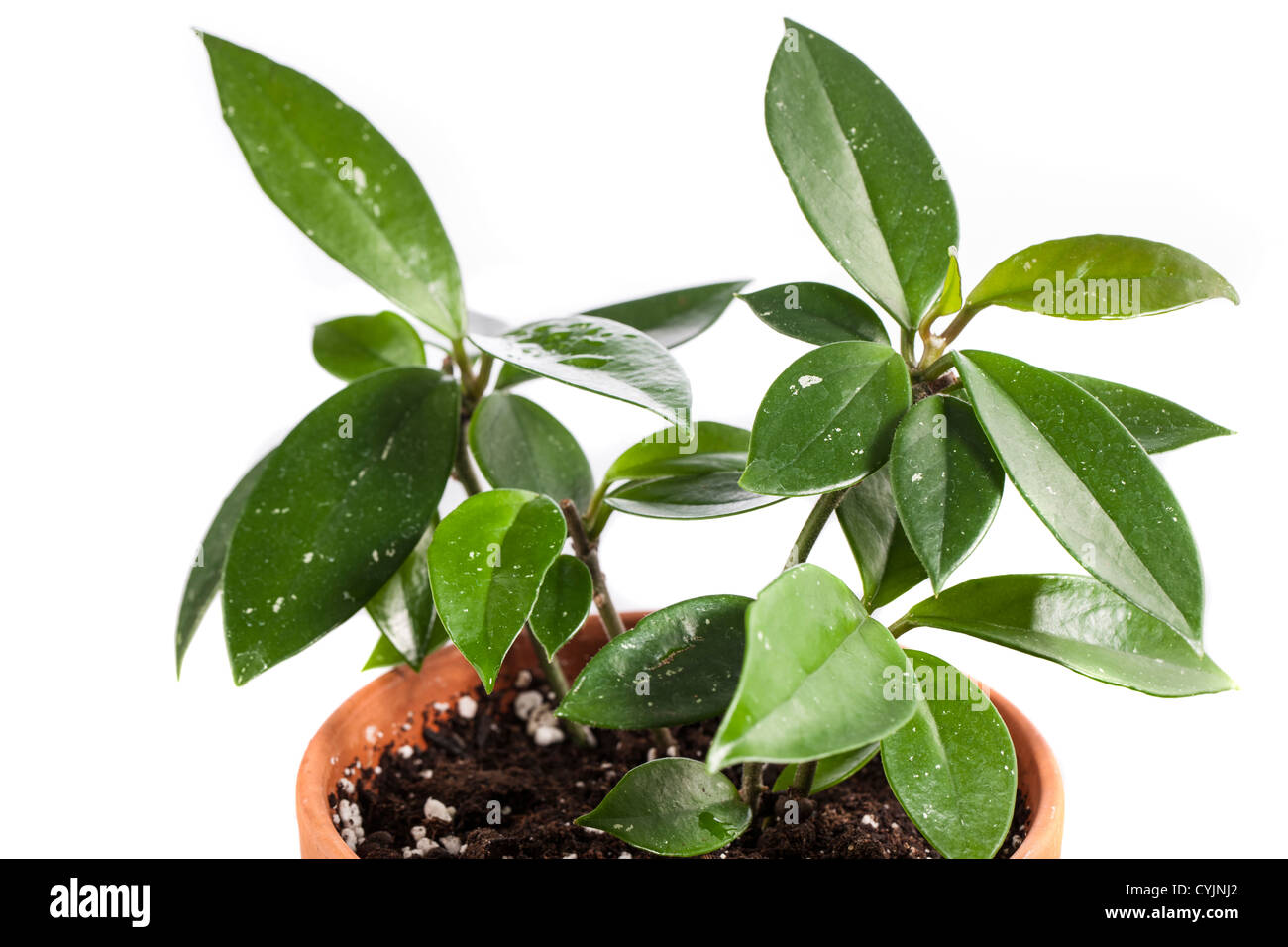 Hoya Carnosa Cuttings In A Clay Pot On White Background Stock Photo