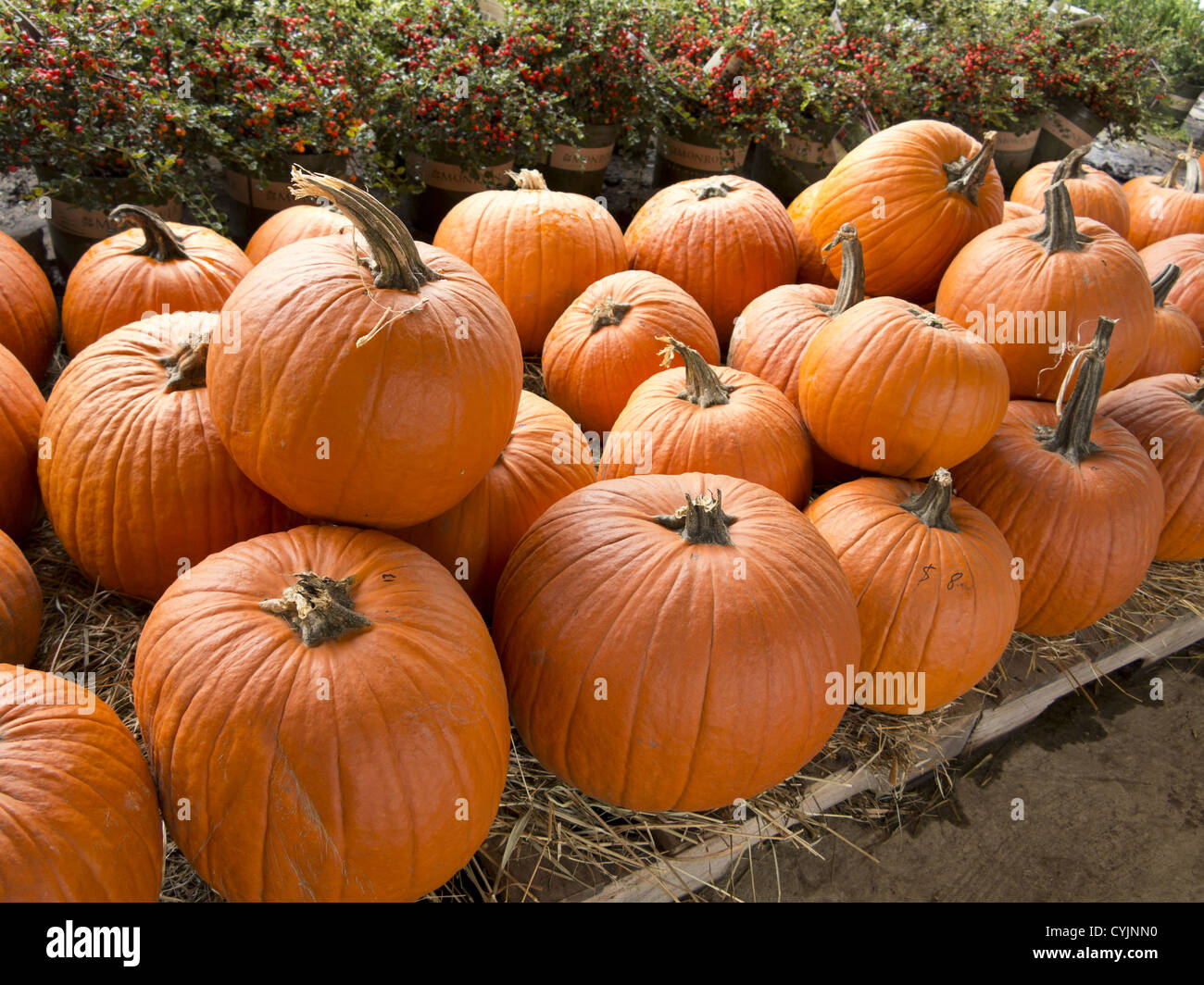 Pumpkins for sale at a garden center in Brooklyn, NY. - Stock Image