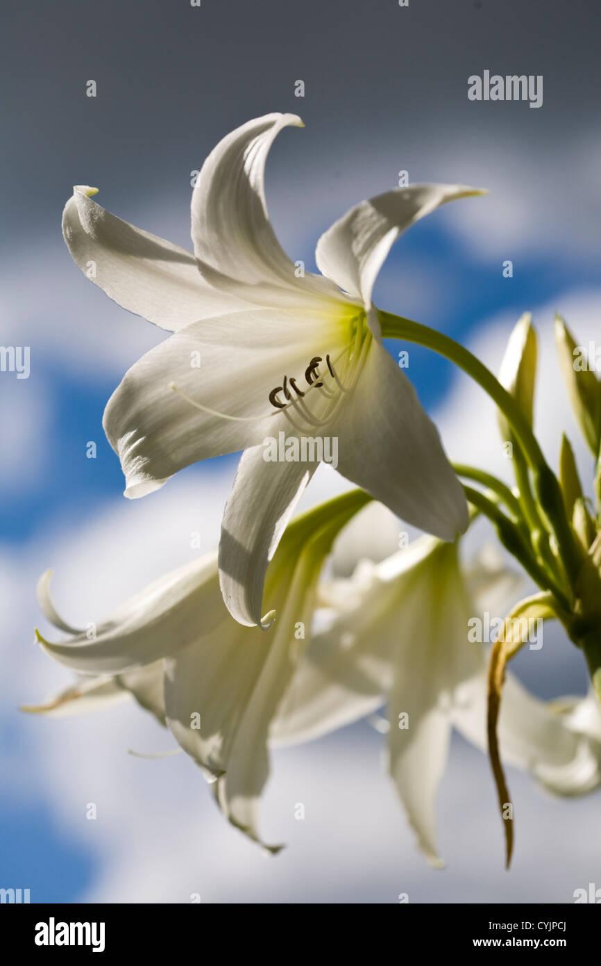 Crinum x powellii 'Album' Stock Photo