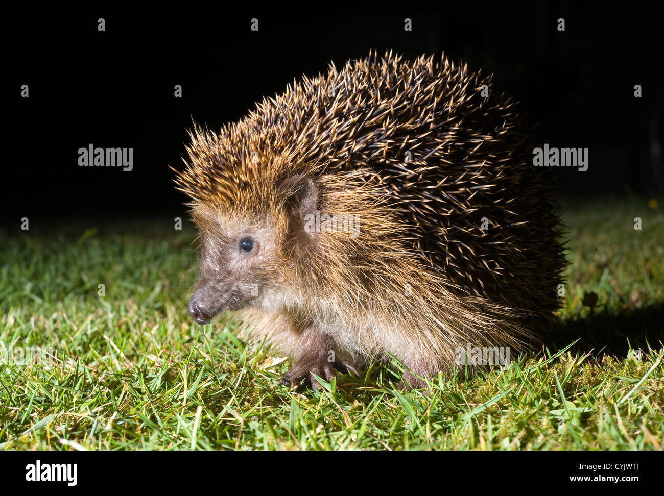 A hedgehog is walking in the grass in the dark in a garden - Stock Image