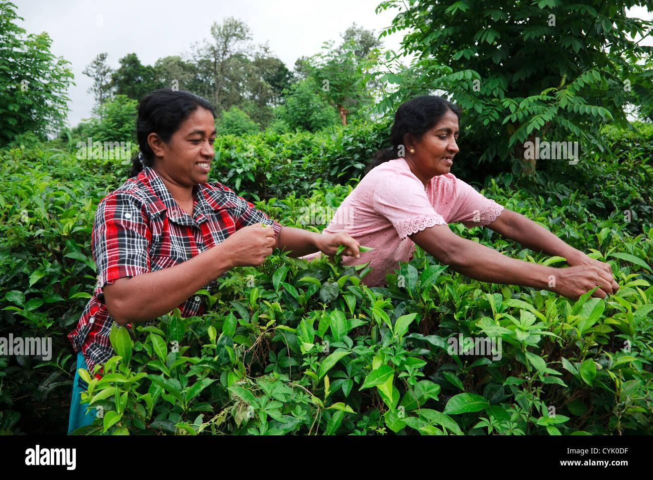 Two women picking tea leaves at a plantation, Sri Lanka Stock Photo