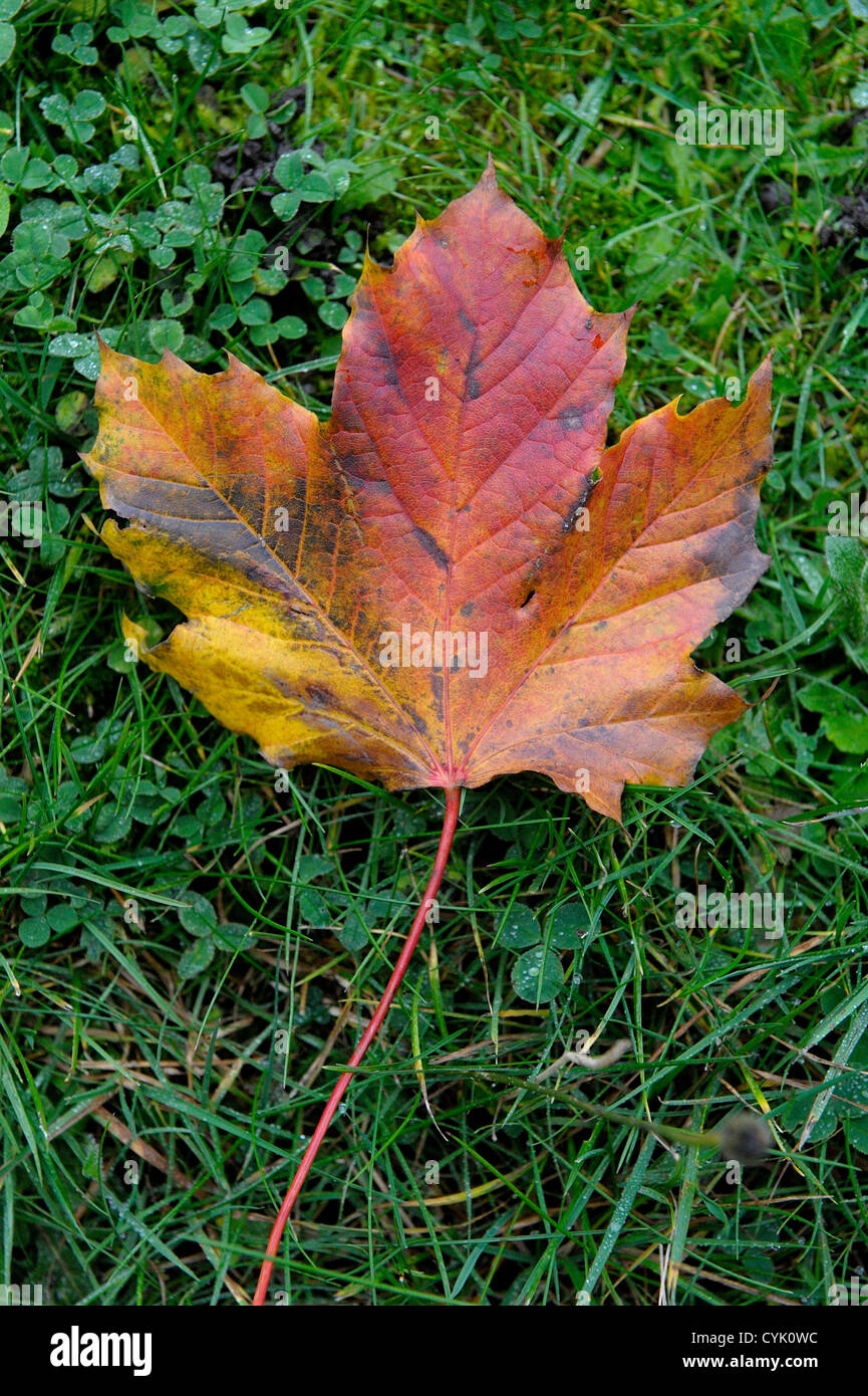 one reddish brown autumnal leaf on a grass background - Stock Image