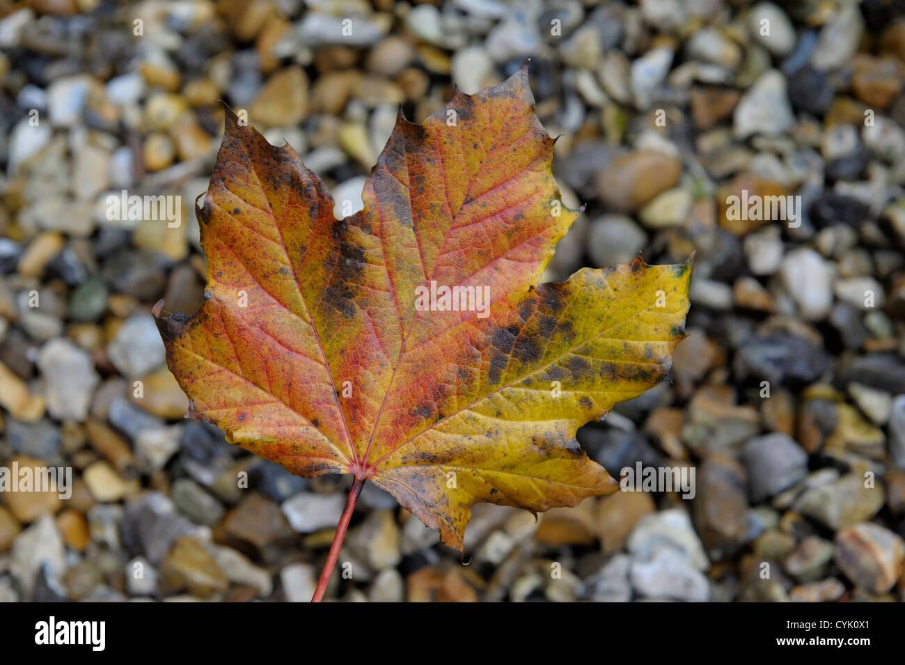 one reddish brown autumnal leaf on stony background - Stock Image