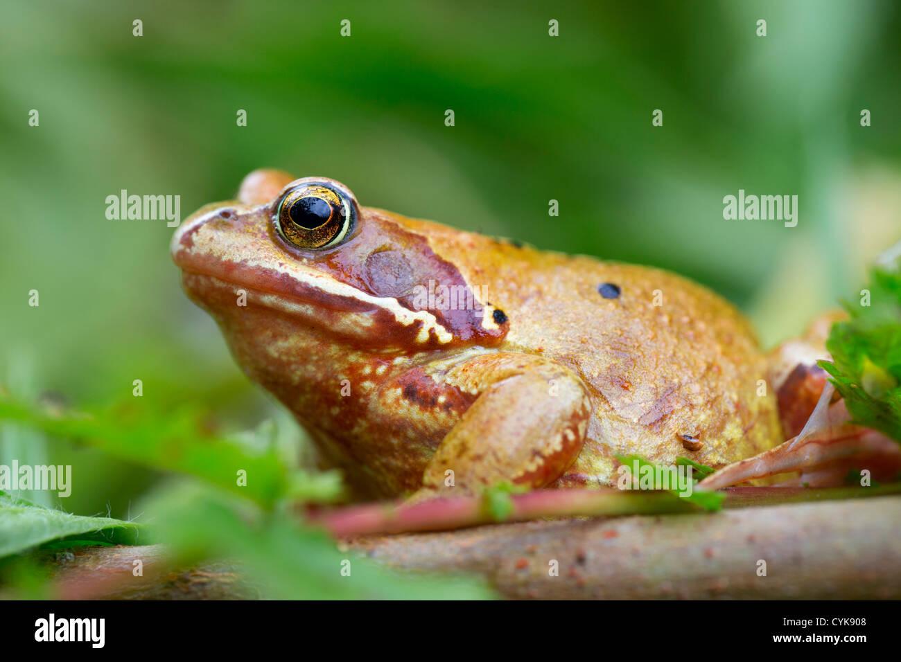 Common Frog; Rana temporaria; yellow variant; Cornwall; UK - Stock Image
