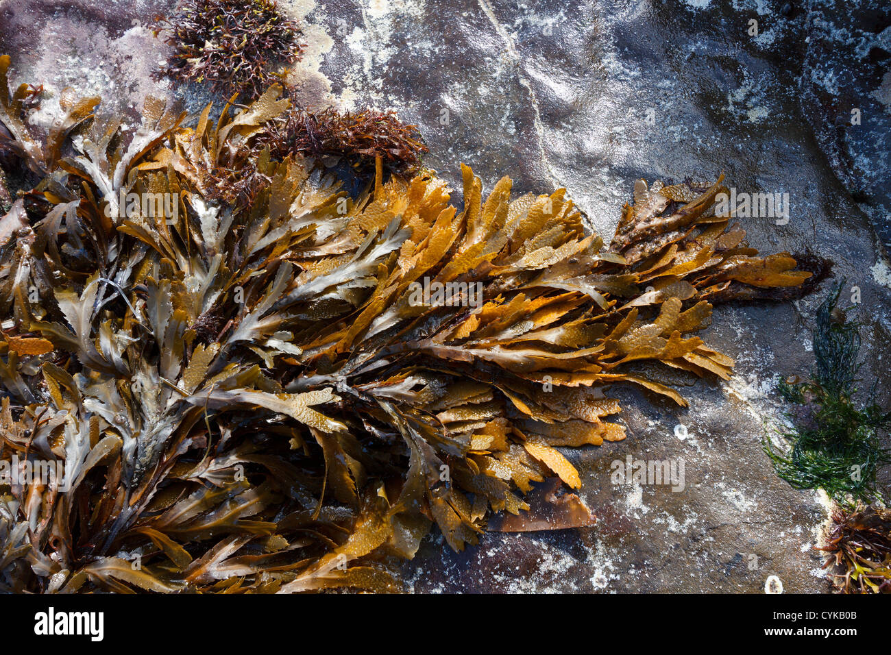 Brown / Green Toothed Wrack ( Fucus Serratus) seaweed lying on smooth rock on Scottish Beach, Scotland, UK Stock Photo