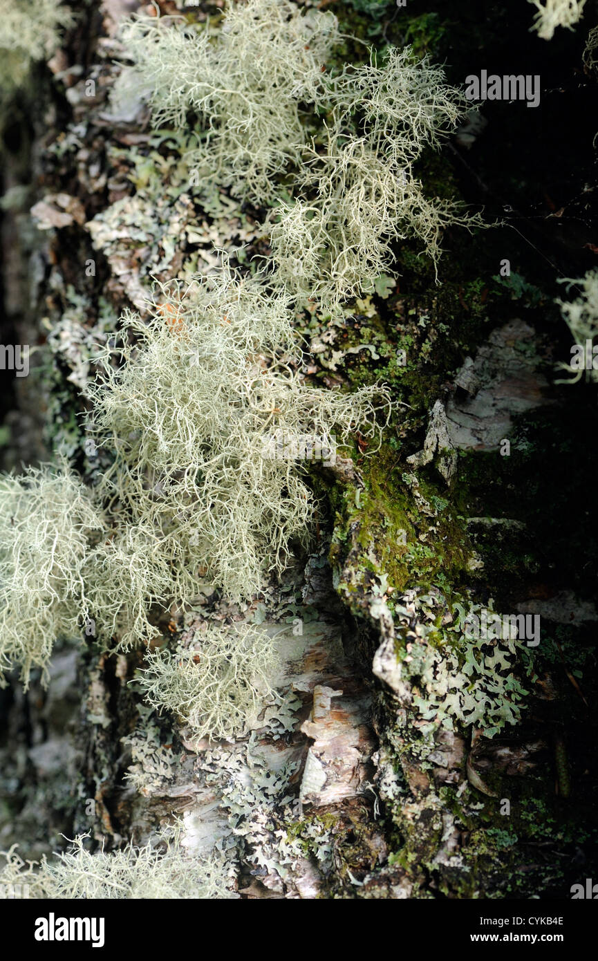 A variety of lichens and mosses growing on a tree trunk. Lochaline, Morvern, Argyll, Scotland, UK. - Stock Image