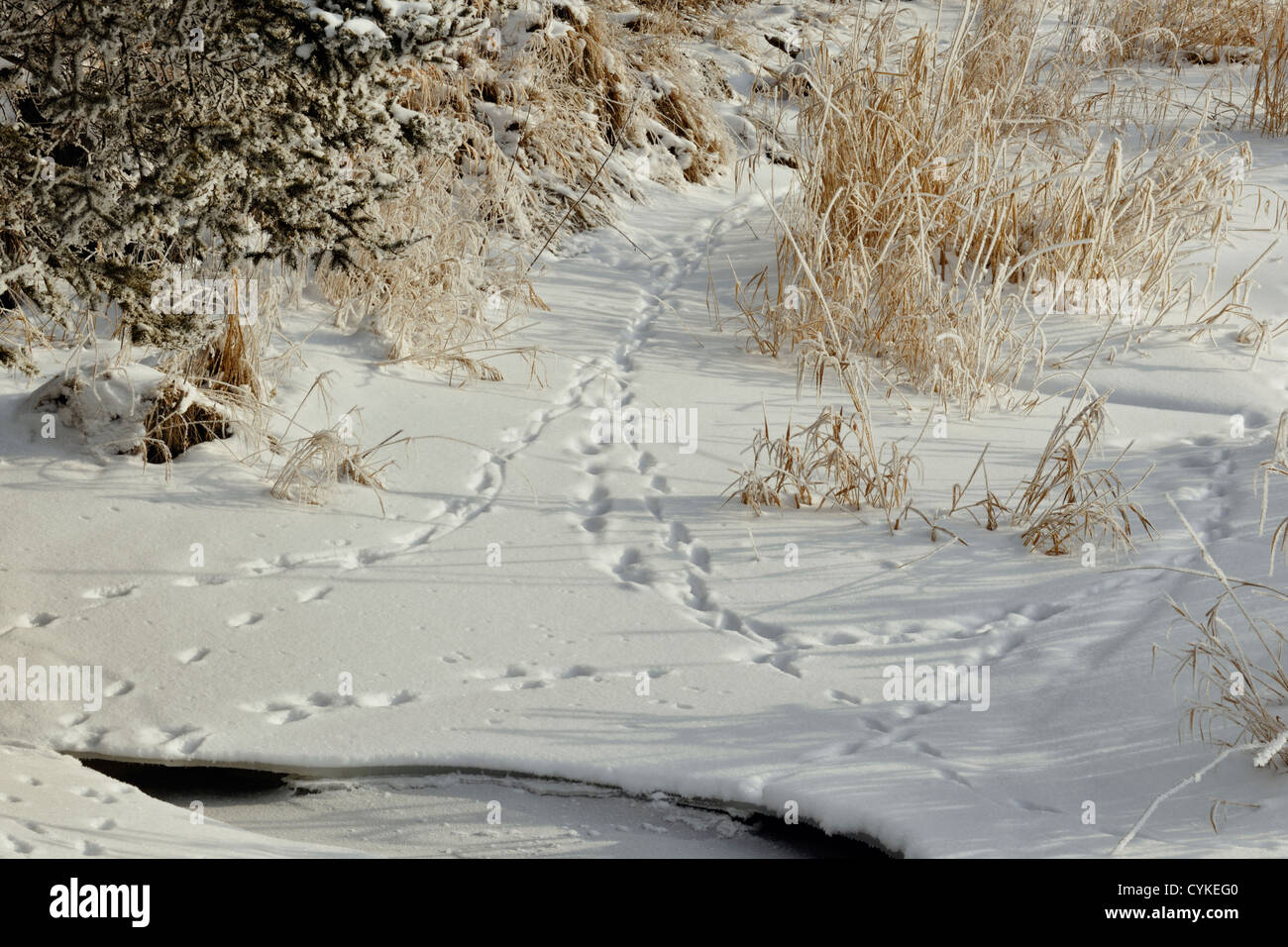 Animal tracks in snow along the shore of Junction Creek, Greater Sudbury, Ontario, Canada - Stock Image