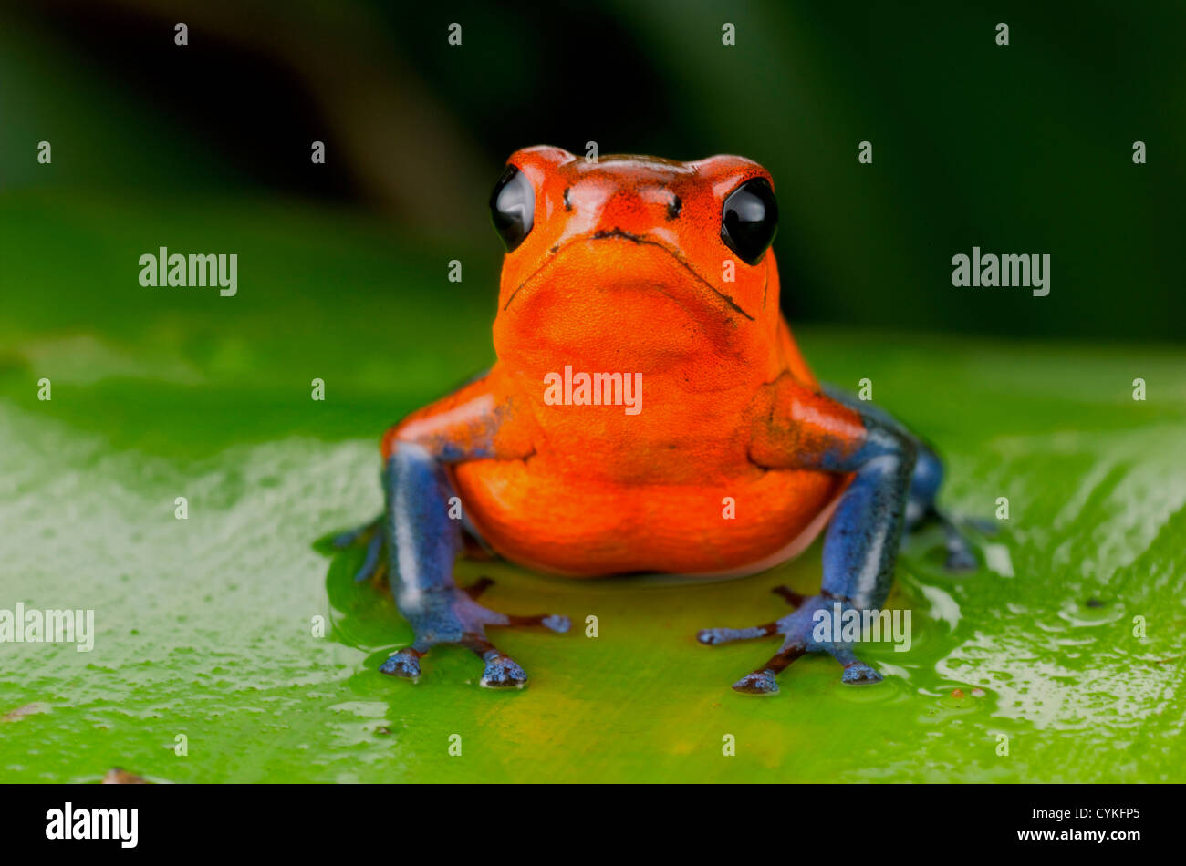 Strawberry poison frog or strawberry poison-dart frog (Oophaga pumilio), Costa Rica. - Stock Image