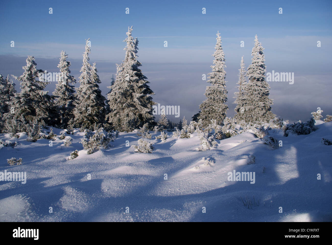 spruces in mountains at winter, Poland - Stock Image