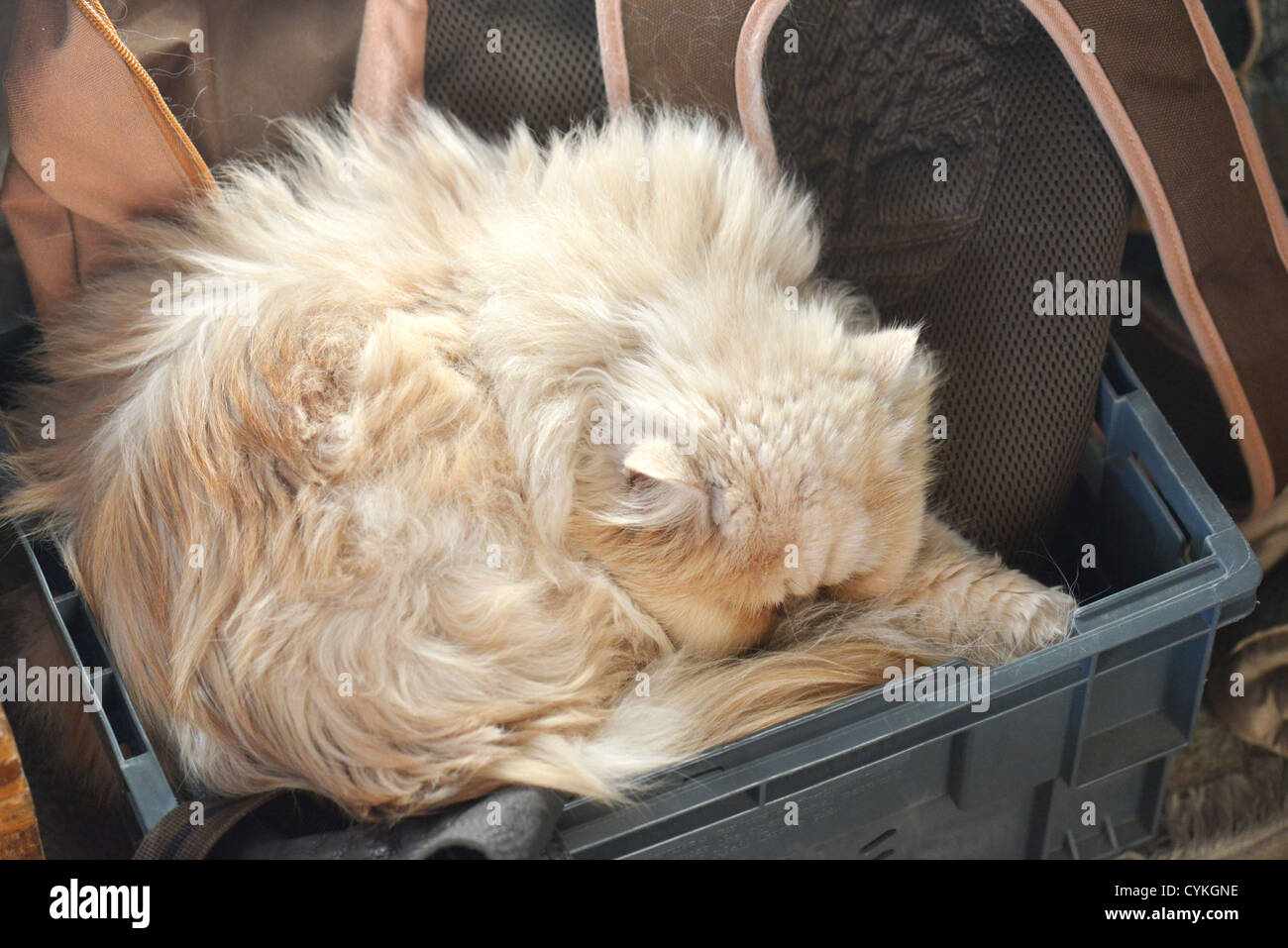 Cat sleeping in a plastic box in a tight fit - Stock Image