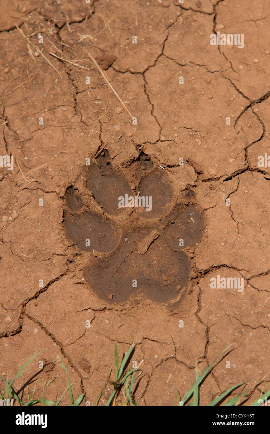 a lions paw print in the mud in masai mara national park kenya
