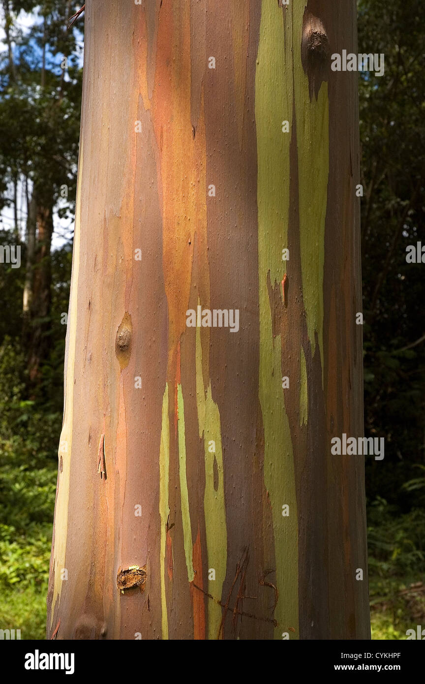 Elk284-7634v Hawaii, Kauai, gum tree bark, Keahua Arboretum - Stock Image