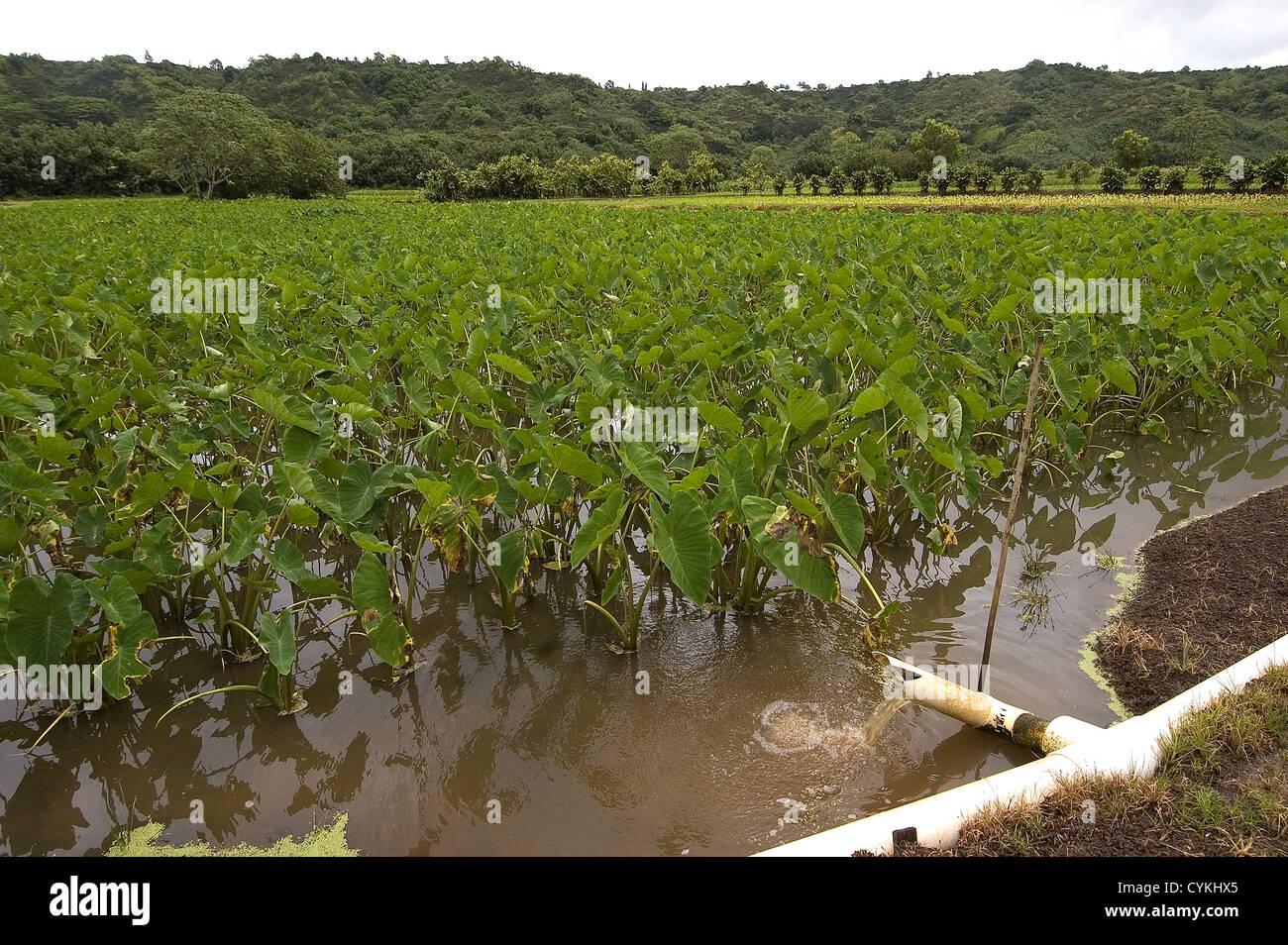 Elk284-7722 Hawaii, Kauai, taro field in Hanalei Valley, irrigation system - Stock Image
