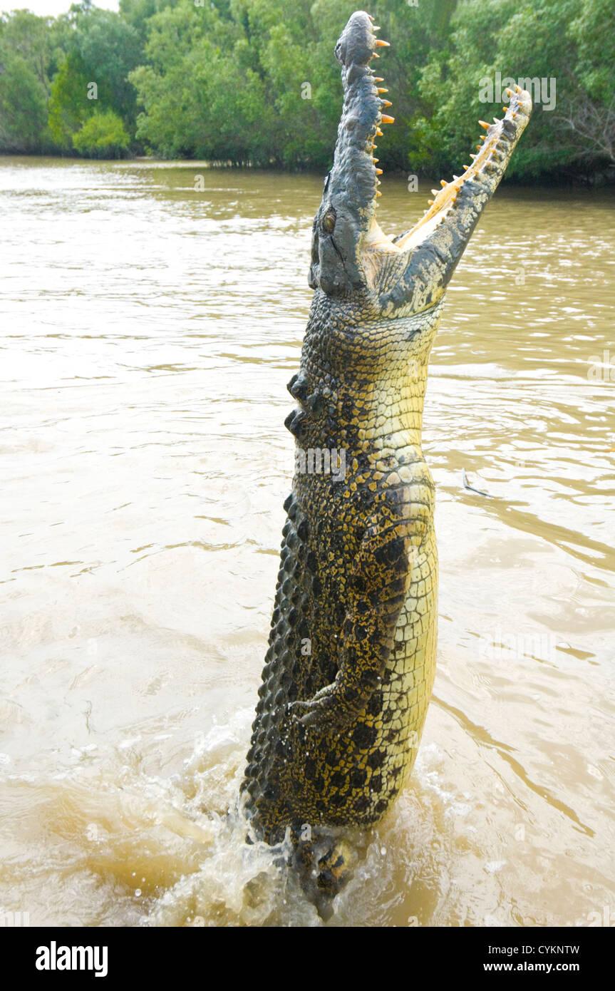 Saltwater Crocodile (Crocodylus porosus), Adelaide River, Northern Territory, Australia, - Stock Image