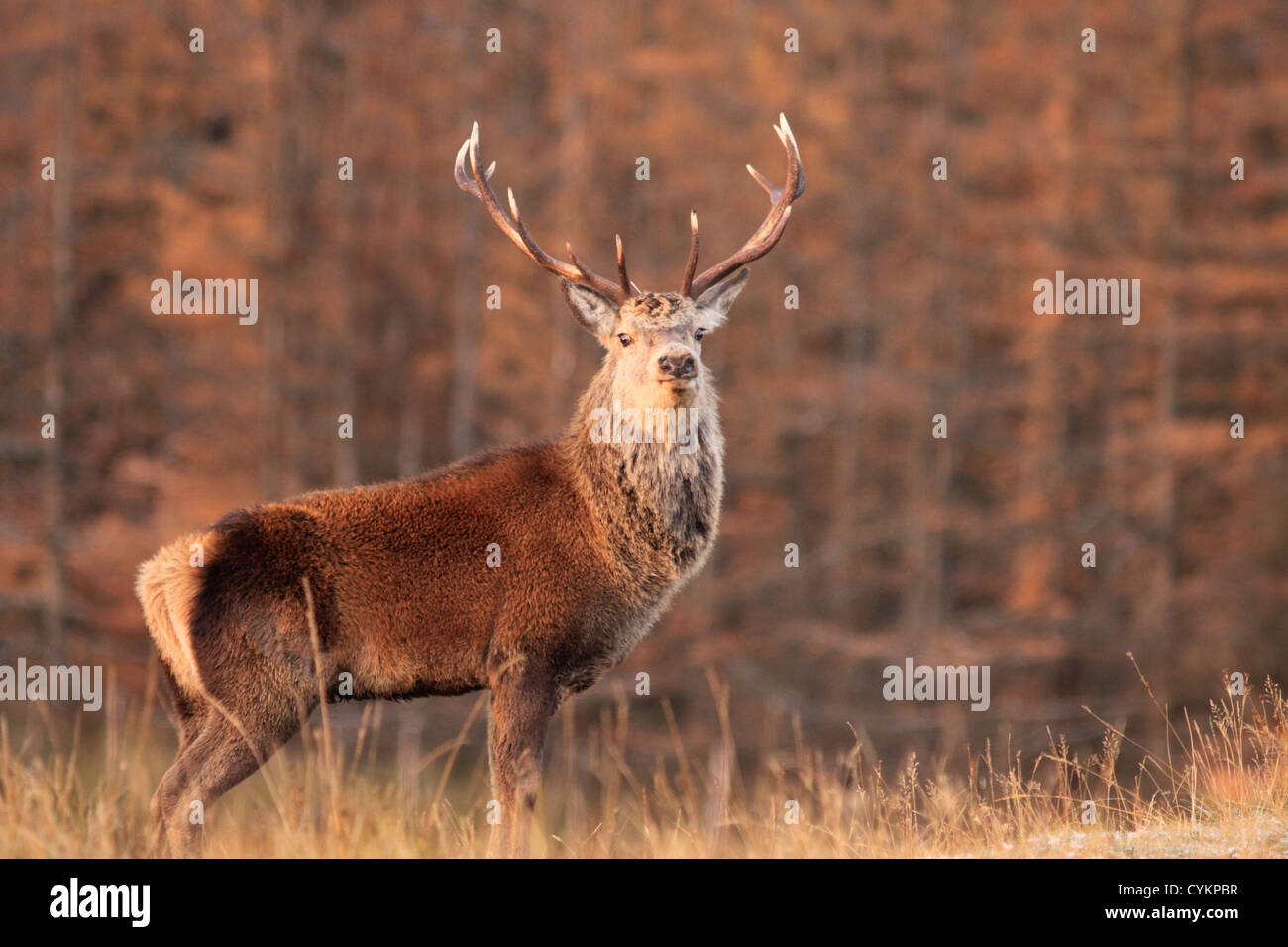 UK Scotland Red Deer Stag in the Highlands autumn - Stock Image