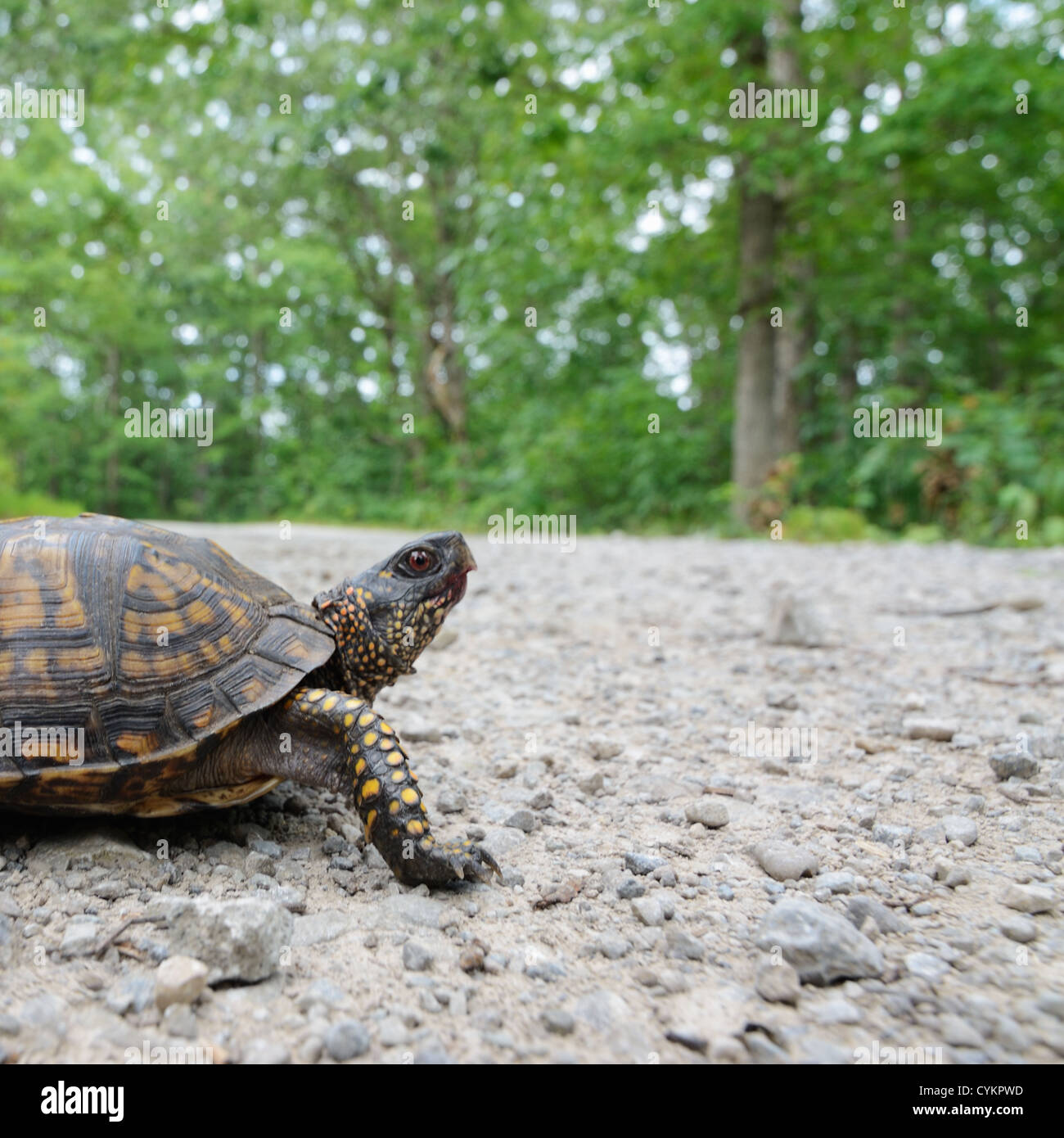 Close up of turtle walking outdoors Stock Photo