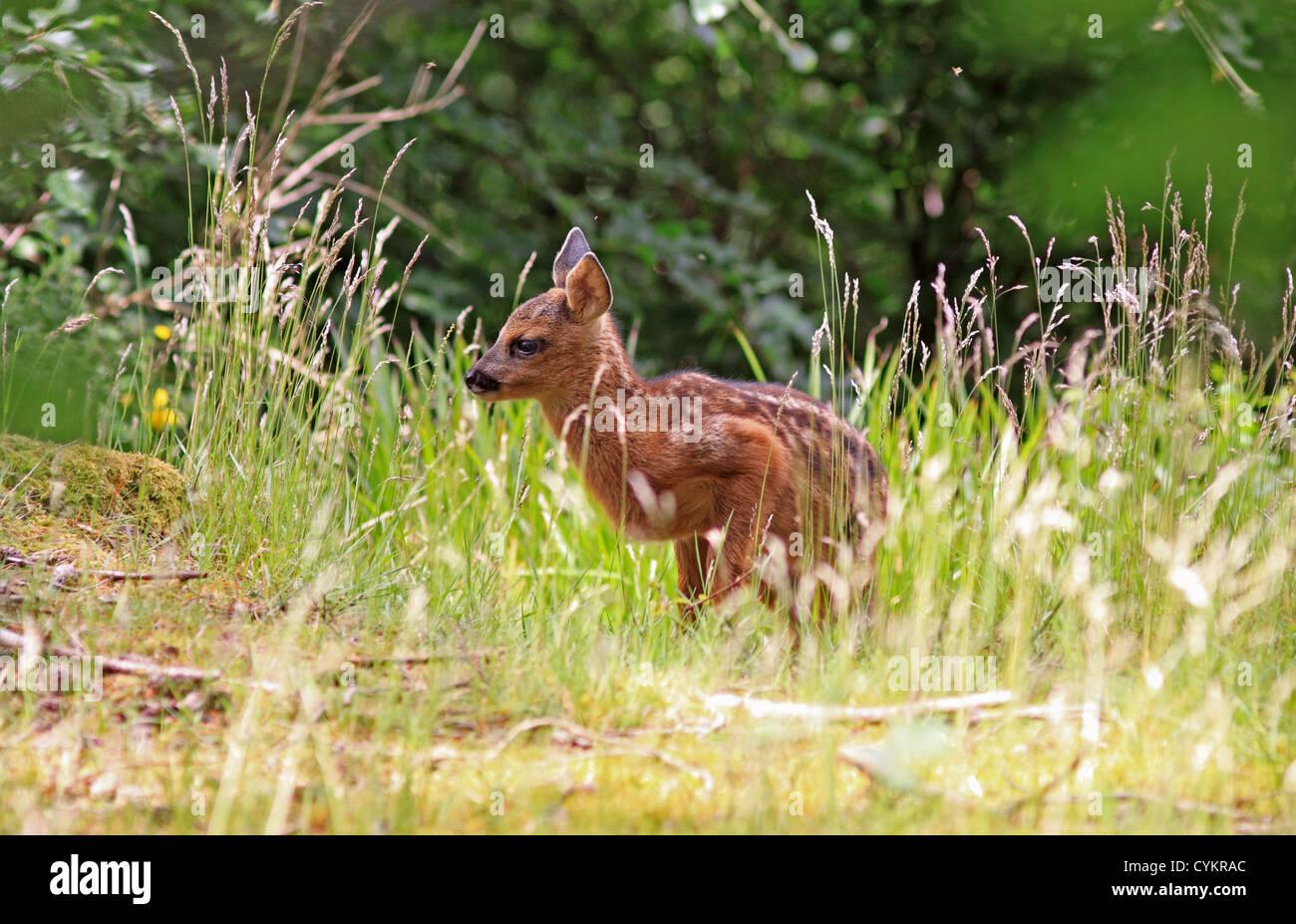 UK Britain Roe Deer Fawn - Stock Image