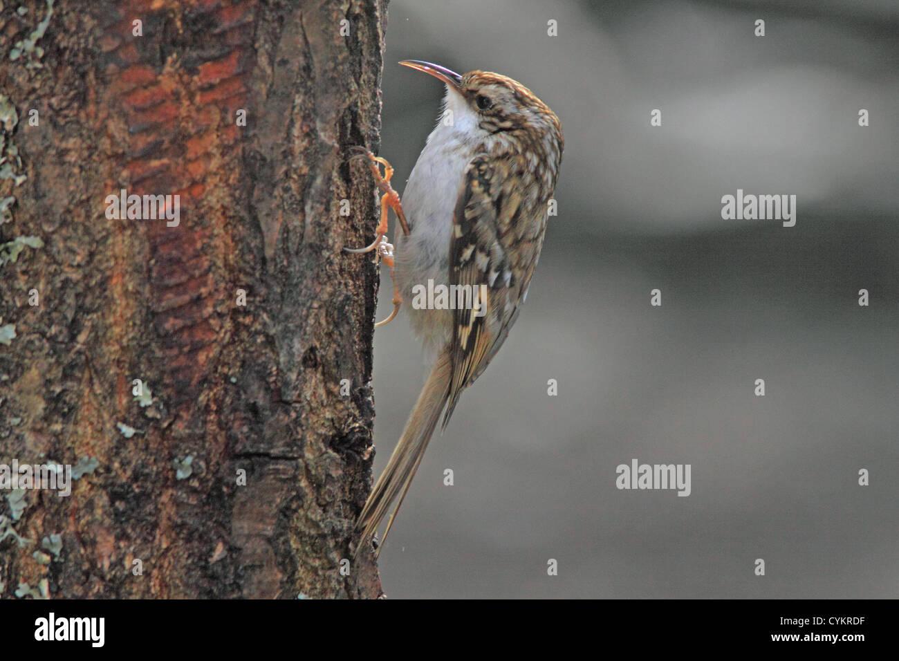 UK Britain Tree Creeper - Stock Image