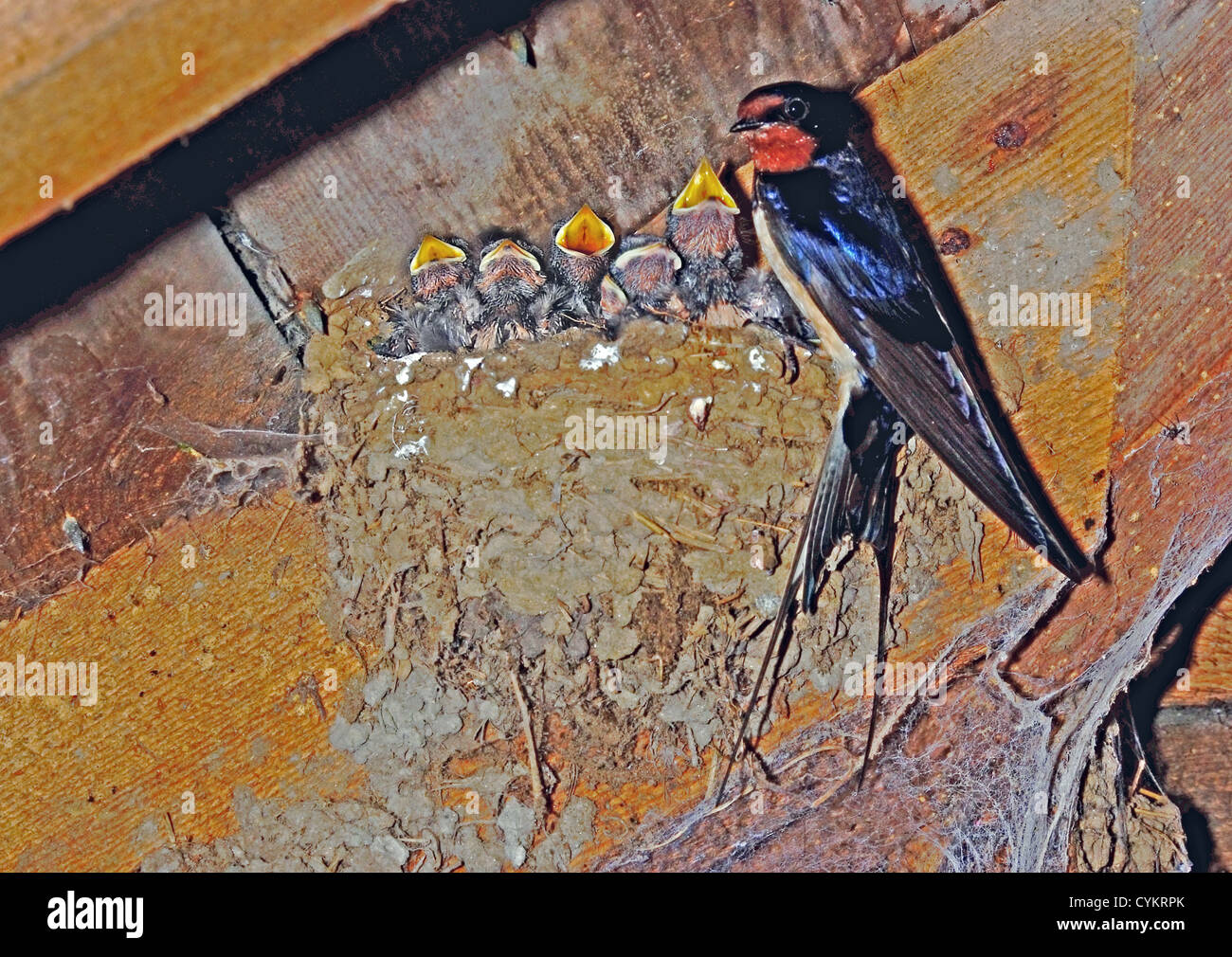 UK Swallow and nest with five hatchlings in roof - Stock Image