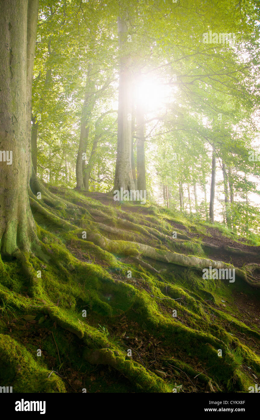 Mossy tree roots on forest hillside - Stock Image