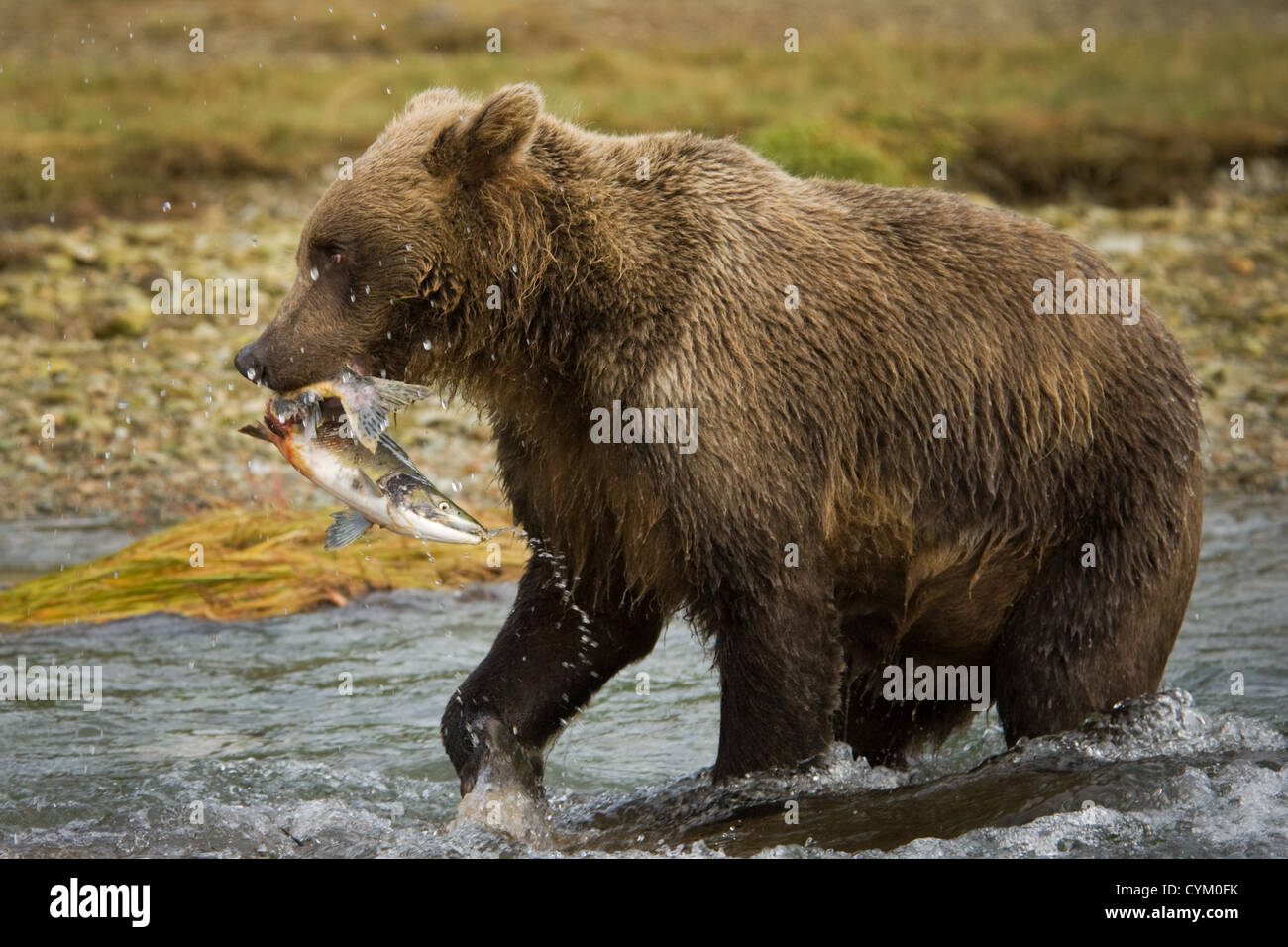 Grizzly Bear (Ursus arctos) with a caught Salmon in river, Katmai national park, Alaska, USA. - Stock Image