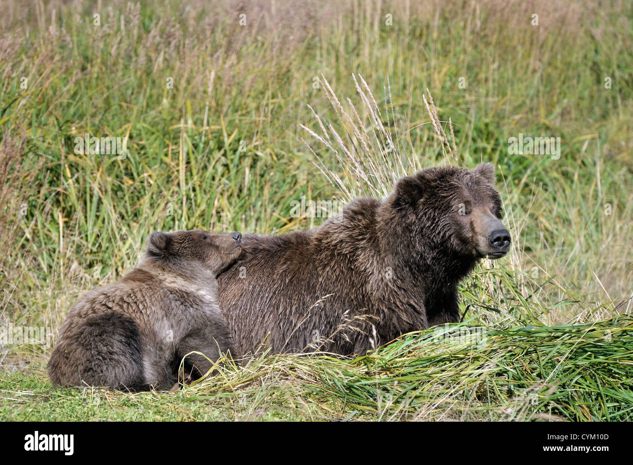 Grizzly Bear mother sleeping with cub. - Stock Image