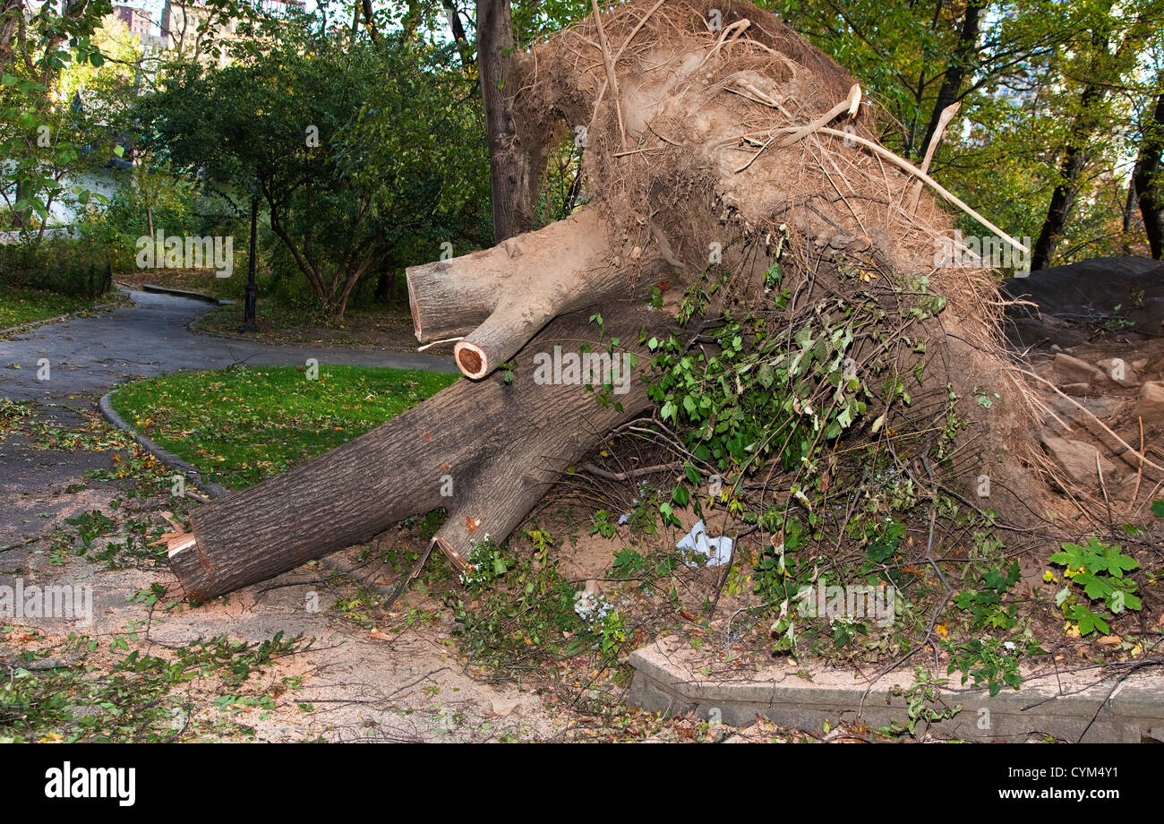 An Uprooted tree in Central Park, New York - Stock Image