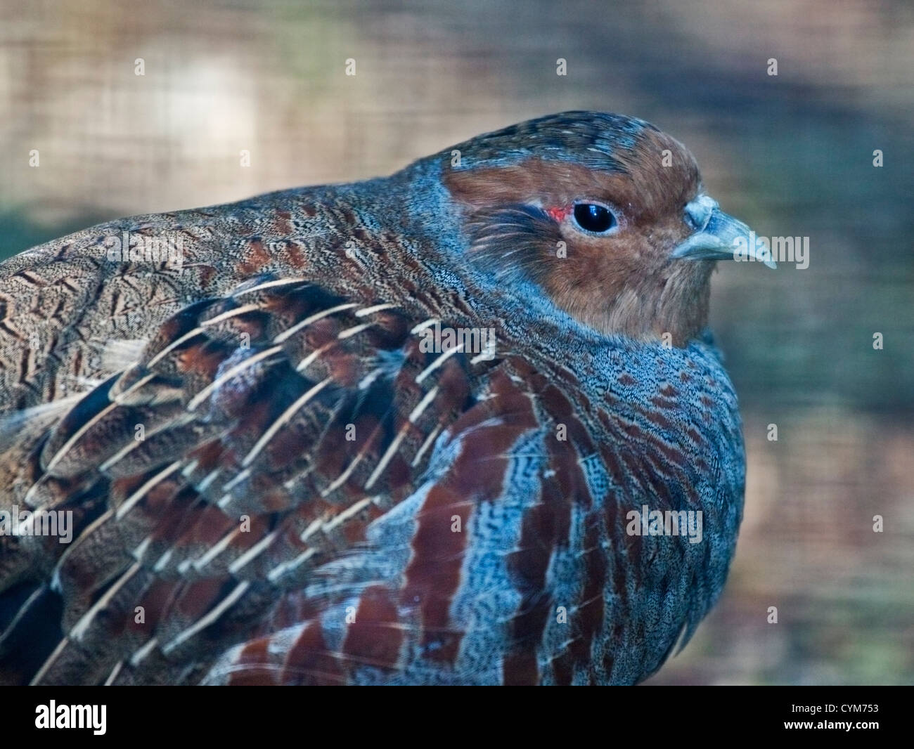Grey Partridge (perdix perdix) - Stock Image