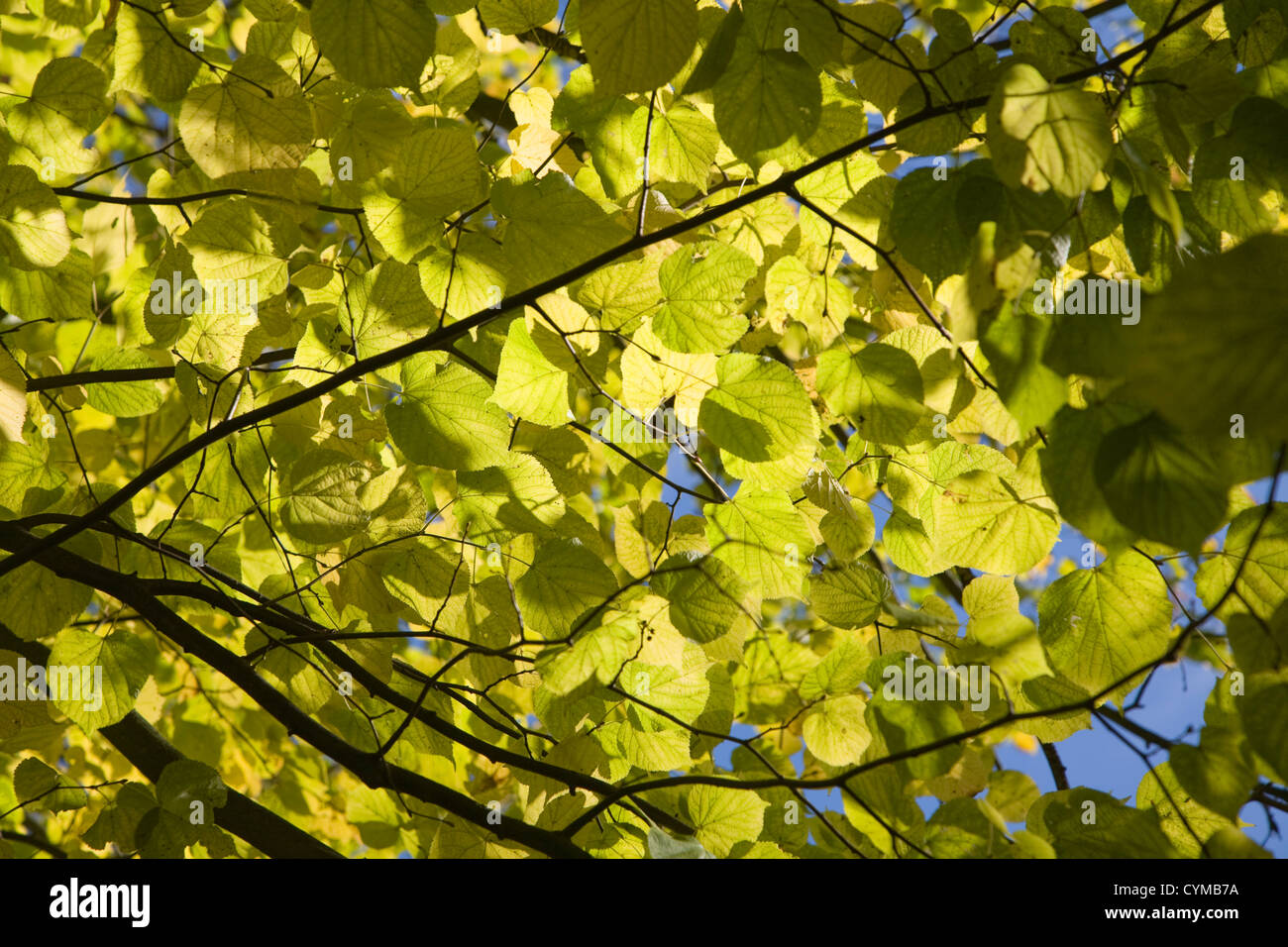 Looking up through dappled leaves to blue sky - Stock Image