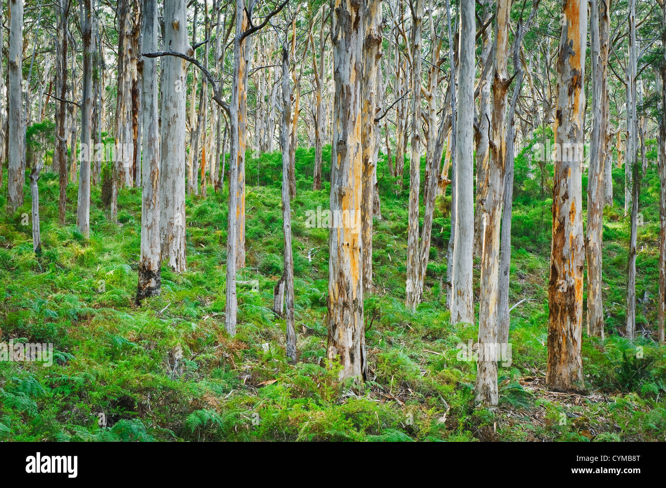 Tall Karri Trees in Boranup Forest. - Stock Image