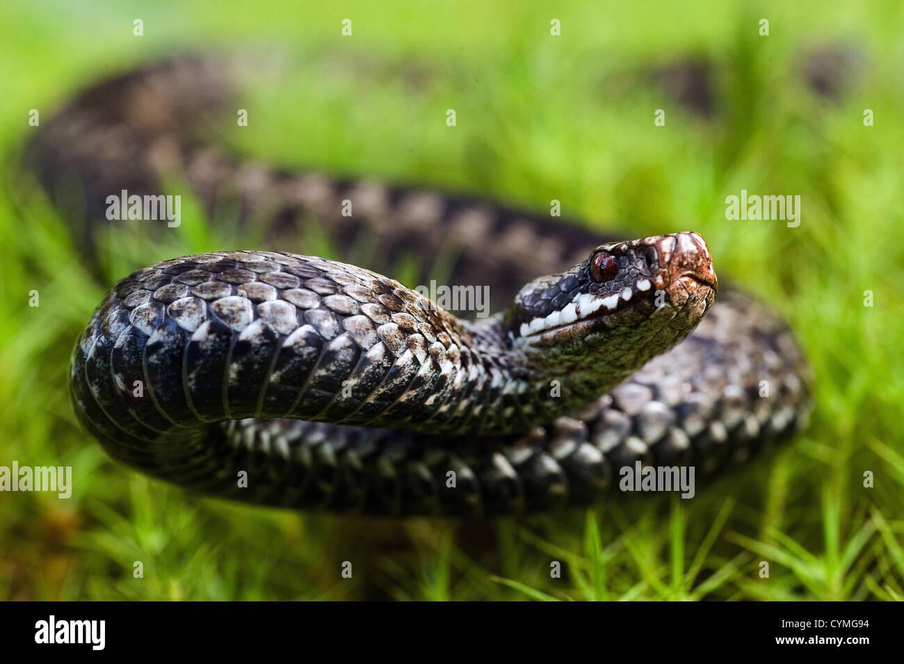 Viper before attack - Stock Image