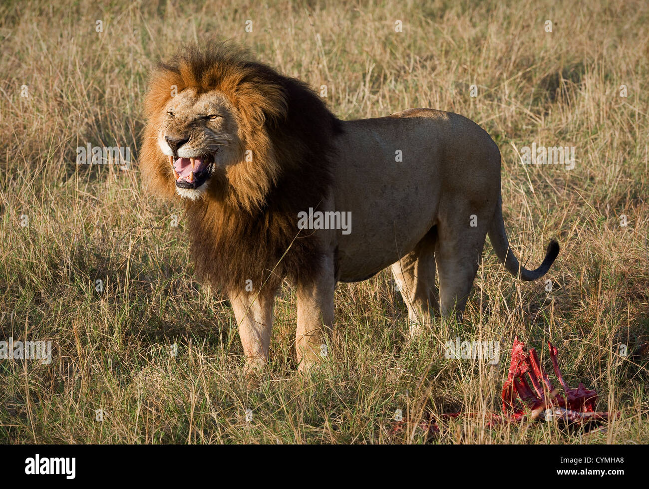 Lion's grin. - Stock Image
