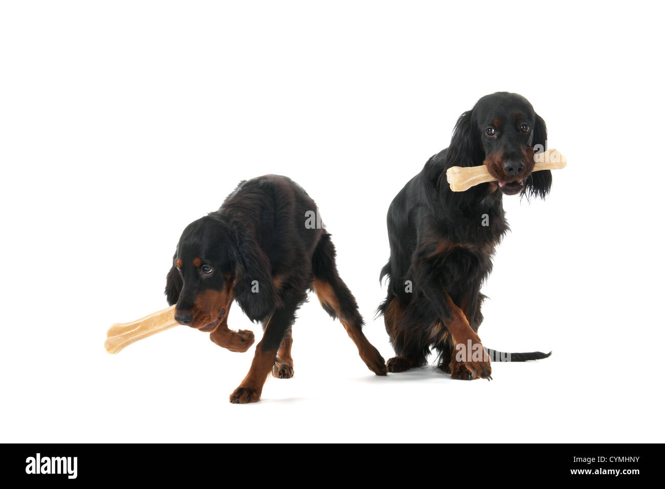Mother and puppy gordon setters with big bones - Stock Image