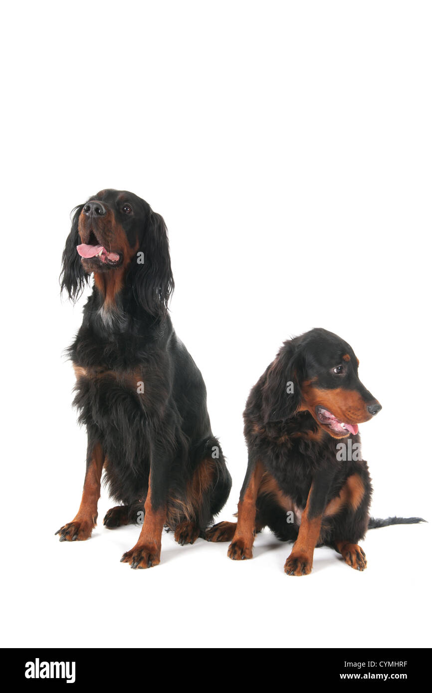 Mother and puppy gordon Setter dogs - Stock Image