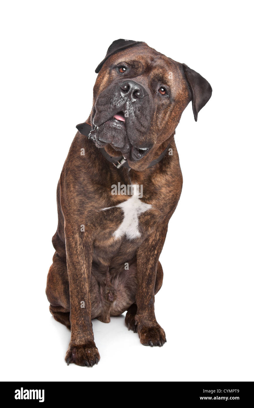 brindle Bullmastiff in front of a white background - Stock Image