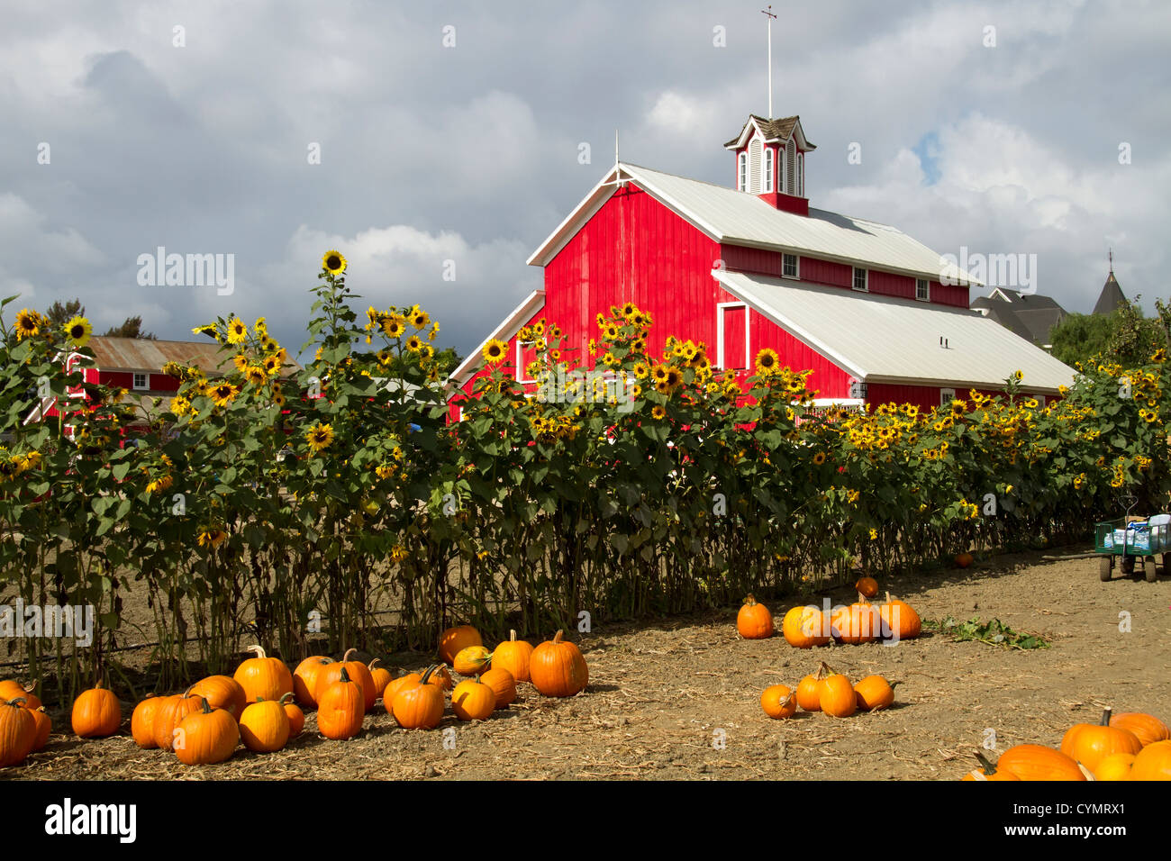 Pumpkin patch with a red barn in the background Stock ...
