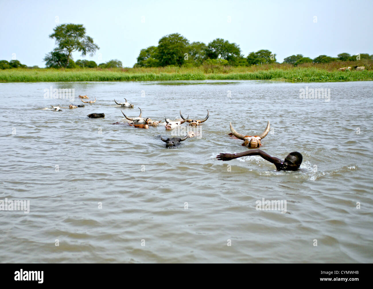 Cattle swimming across Nile tributary Pibor River South Sudan being led by swimming herdsman - Stock Image