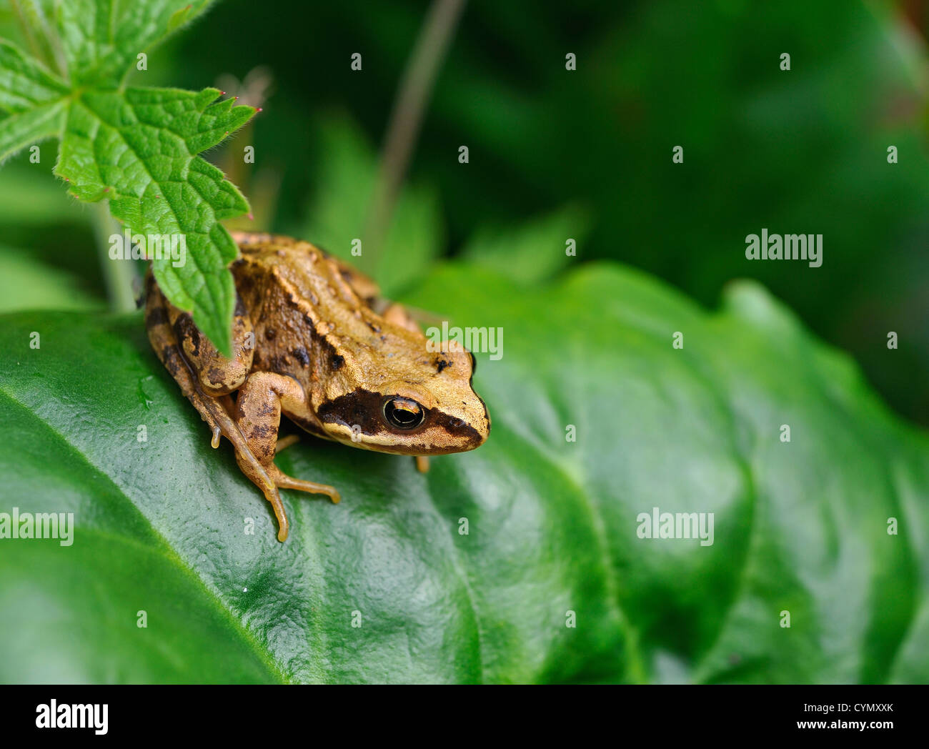 Juvenile common frog Rana temporaria on leaves of elephant-ear - Stock Image